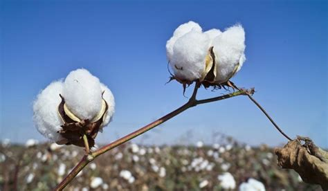 best cotton top cotton producing countries in the world worldatlas com