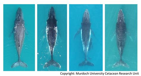 wale body murdoch university cetacean research unit humpback whale