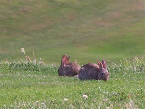 comment chasser un lapin sauvage