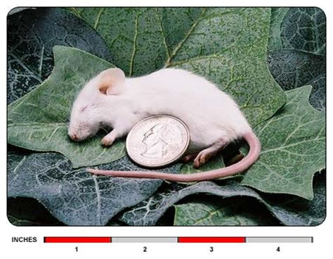 Cari Afkir cari jual tikus putih rat mencit delivered service