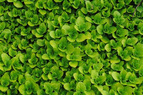 creeping oregano ground cover  herb drought