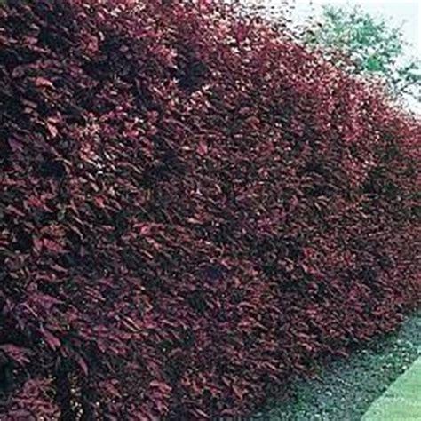 leaves purple and hedges on pinterest
