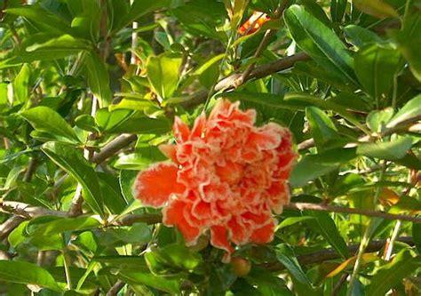 fiore di melograno piante da vaso punica melograno punica granatum