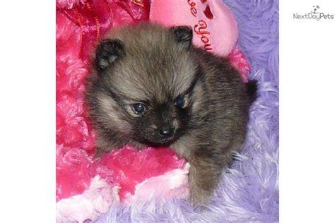 baby doll pomeranian for sale pomeranian puppy for sale near springfield missouri de14c734 2bf1