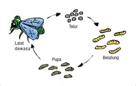 Syal Sayap Kupu Kupu gambar metamorfosis lalat proses tahapan gambar