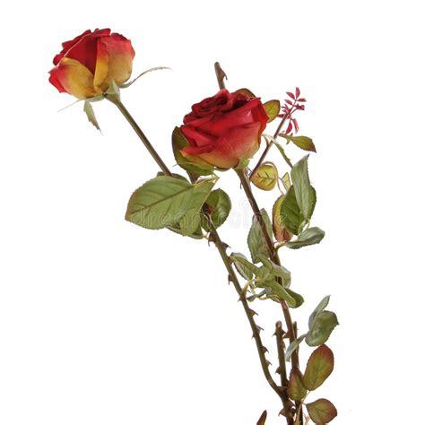 imagenes de rosas rojas frescas rosas rojas frescas en un fondo blanco imagen de archivo
