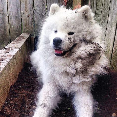 Samoyed Shedding by 15 Times Samoyeds Looked Just Like Fluffy Marshmallows