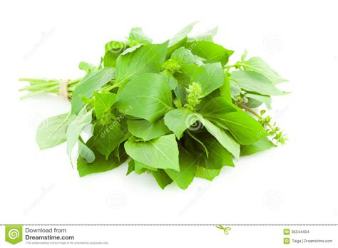 hanging bunches of fresh spicy herbs isolated on white bunch of fresh basil spice herb isolated stock images