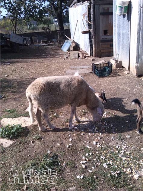 vendo animali da cortile vendita pecora da privato a animali da cortile
