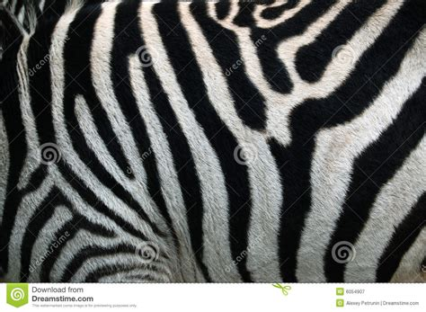 zebra pattern texture zebra strip zebra stripes pattern texture royalty free