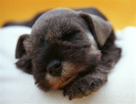 the puppy den a puppy sleeping