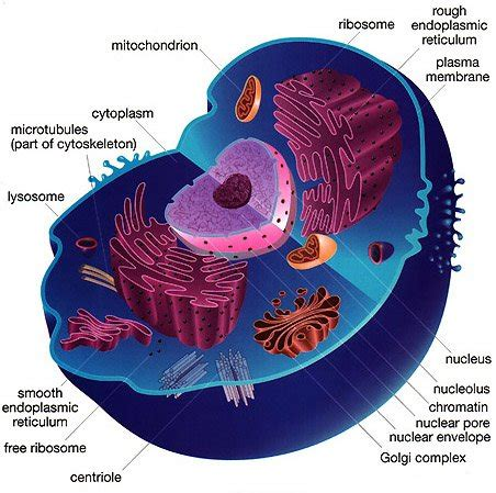 cross section of a animal cell year12bio 2 8 cells
