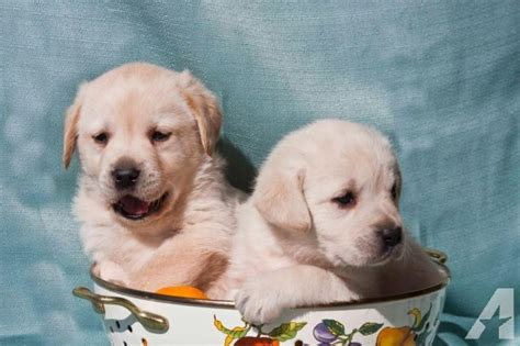 lab puppies for sale in california labrador retriever puppies for sale in ma breeds picture