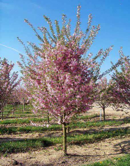 autumn flowering cherry prunus subhirtella autumnalis moon nurseries