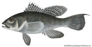 sea bass fish britannica com