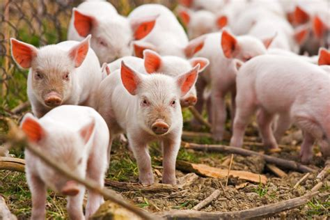 pig idioms and expressions oxfordwords blog