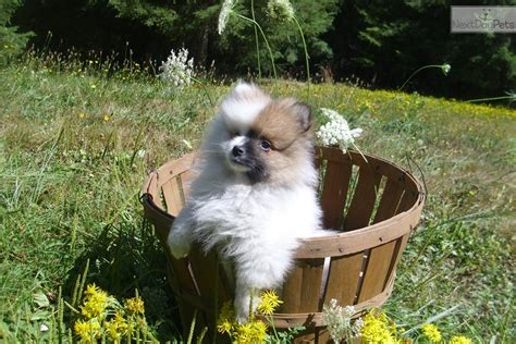 pomeranian for sale in portland oregon akc pomeranian for sale in portland or 4348107061 4348107061