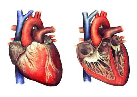 Is Jantung cara kerja dan fungsi jantung pada manusia grizzly96