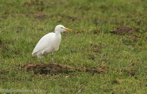 brian s birding blog more of the cattle egret at iken