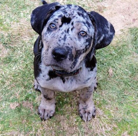 dogs for sale in louisiana catahoula puppies for sale catahoula puppies for adoption catahoula breeds picture
