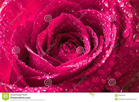 water drops on pink wild rose iowa pictures iowa pink rose with water drops stock photo image of flora