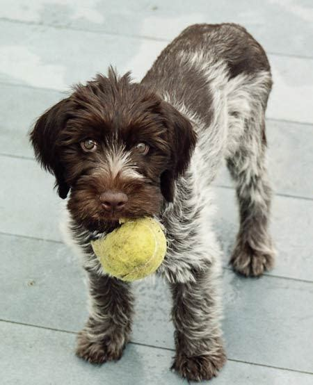 german wirehair puppies german wirehaired pointer info temperament puppies pictures
