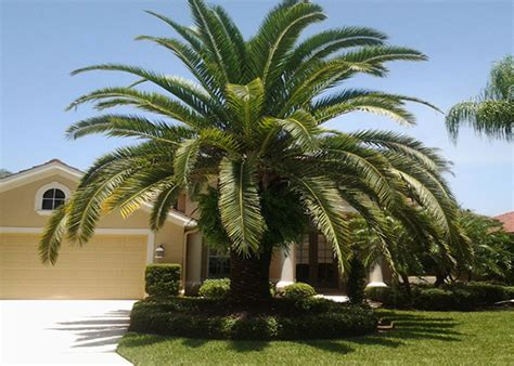 palm trees for sale canary palm trees for sale cape coral