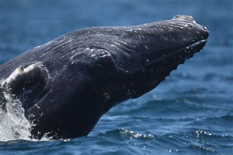 simply amazing gray whale swims 14 000 miles breaking