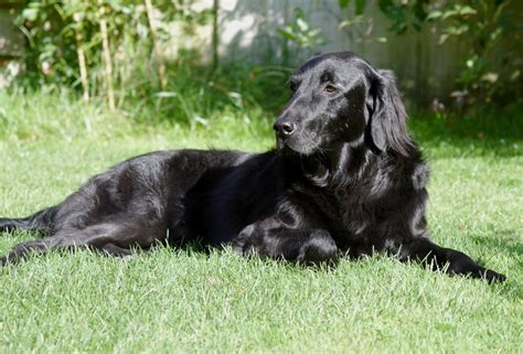 Flat-Coated Retriever History, Personality, Appearance ...
