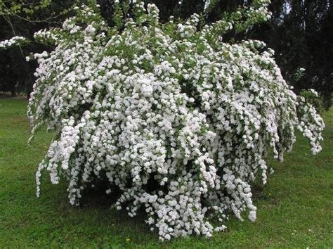 arbusti fioriti da giardino arbusti adatti per creare siepi siepi arbusti per siepi
