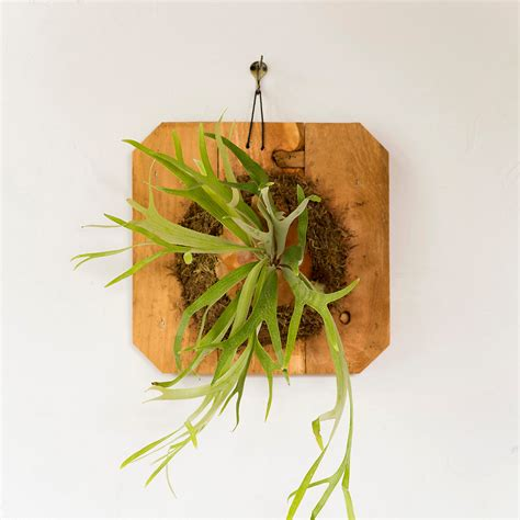 Dining Room Table Accents mounted staghorn fern large terrain