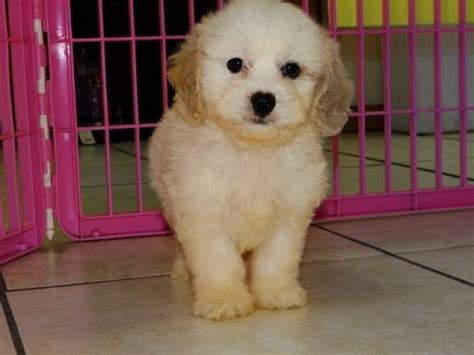 puppies for sale green bay wi cavachon puppies for sale in green bay wisconsin wi eau waukesha