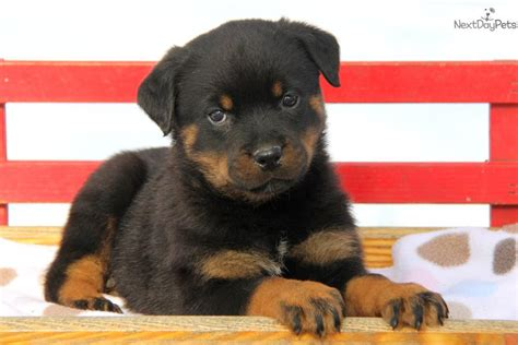 puppy rottweiler for sale near me rottweiler puppy for sale near lancaster pennsylvania e7ba60a8 a951