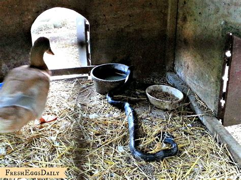 how to get snake out of house snake in the duck house 9 tips to help repel snakes fresh eggs daily 174