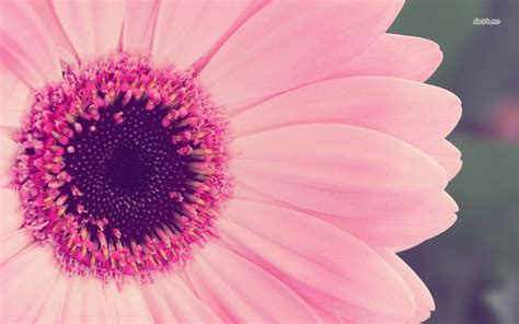 pink petals wallpaper flower wallpapers