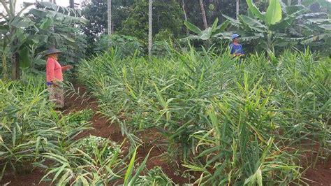 Jahe Merah 1kg petani ciamis menjerit harga jahe terjun bebas jadi rp 1 500 per kilogram tribunnews