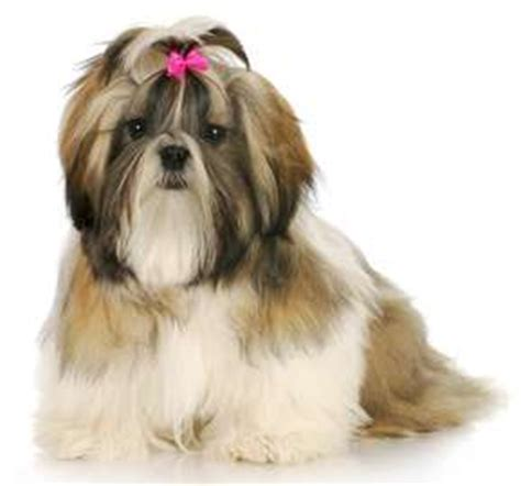 what two dogs make a shih tzu 29 small non shedding breeds