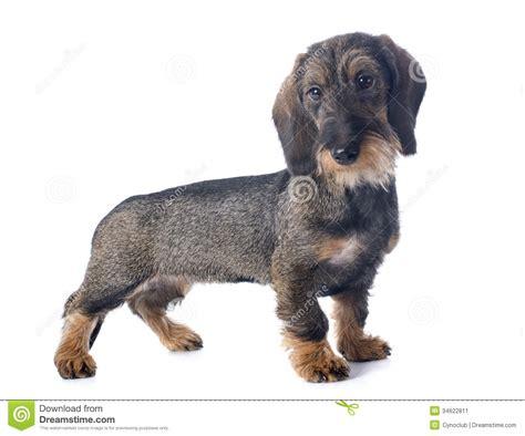 wire haired dachshund puppy puppy wire haired dachshund stock image image 34622811