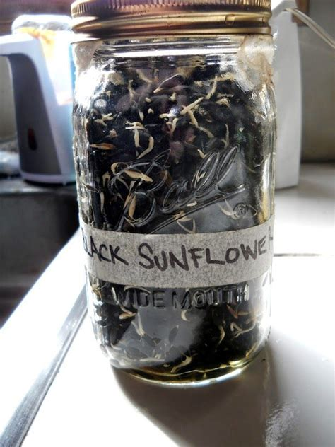 sprouting black sunflower seeds for chickens growing sunflower sprouts for chickens alisha s homesteading animal foods and treats