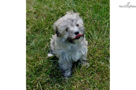 havanese puppies for sale in virginia havanese puppy for sale near charlottesville virginia 567a2743 c891