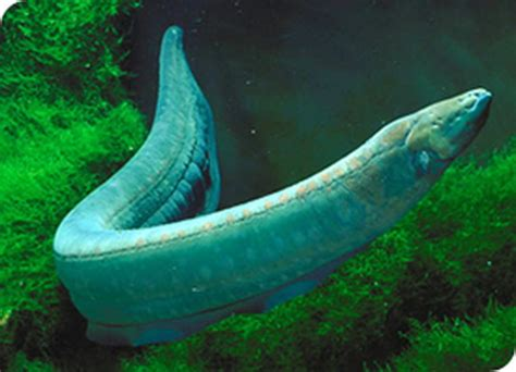 Amazon Home Cleaning by Electric Eel Animal Wildlife