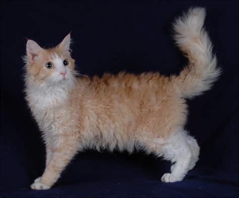 LaPerm Cat   Information, Health, Pictures & Training Pet Paw