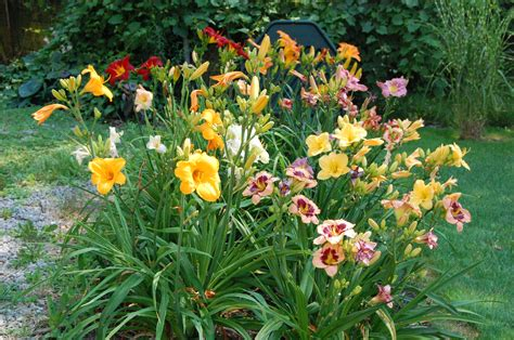 How To Grow A Flower Garden Growing Daylilies And Daylily Propagation Farmer S Almanac