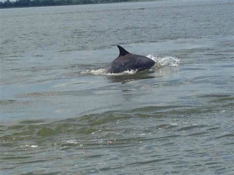 fan boat tour tybee island we found dolphins picture of captain mike s dolphin