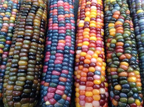 colors of corn vegetables of a different color the garden troubadour