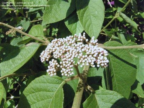 c fruit burnaby plantfiles pictures berry callicarpa rubella by