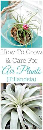 how to grow and care for air plants tillandsia mom 4 real
