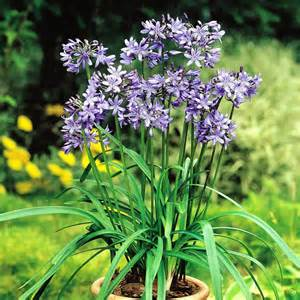 agapanthus combo blue white 2 plants buy online order yours now