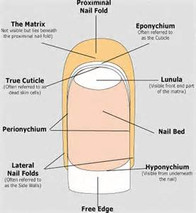 nail bed anatomy what is cuticle the essential cuticle care guide part 5