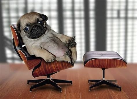 pug in chair pug and chair 1funny